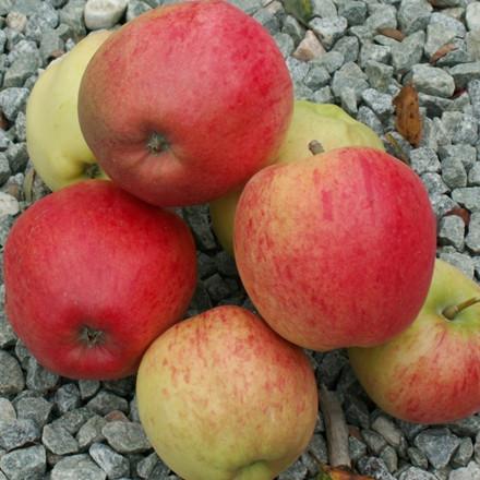 Æble 'Ahrista' -salgshøjde: 150-200 cm.