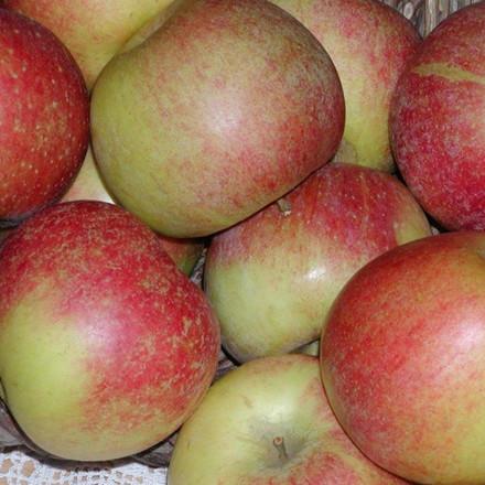 Æble 'Aroma' -salgshøjde: 150-200 cm.