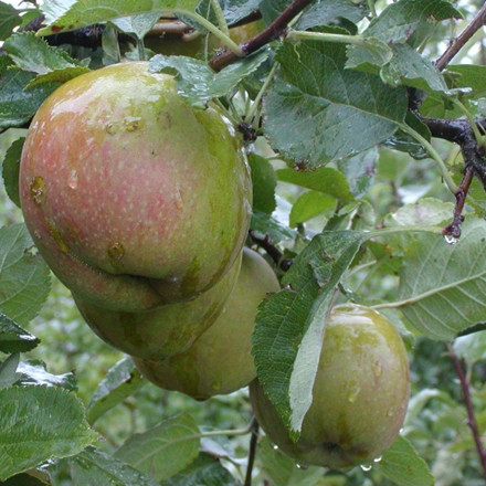 Æble 'Belle de Boskoop' -salgshøjde: 150-200 cm.