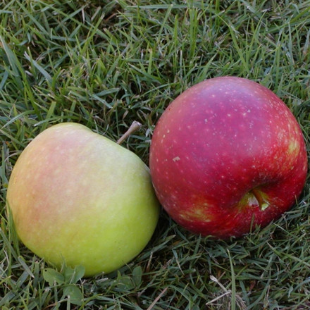 Æble familietræ - Duotræ - salgsh��jde: 130-175 cm.
