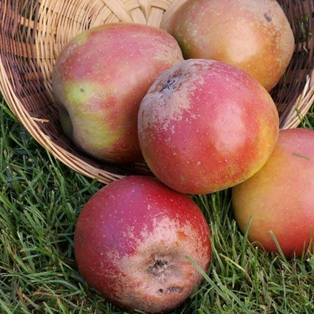 Æble 'Rød Cox Orange' -salgshøjde: 150-200 cm.