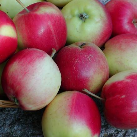 Æble 'Sunrise' -  salgshøjde: 150-200 cm.