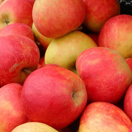Æble 'Rød Elstar' (Elshof) -salgshøjde: 150-200 cm.