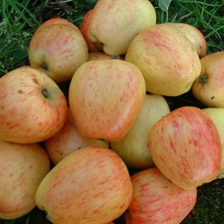 Æble 'Guldborg'-salgshøjde: 150-200 cm.