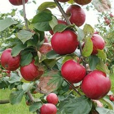 Æble Cideræble 'Foxwhelp' -salgshøjde: 120-200 cm.