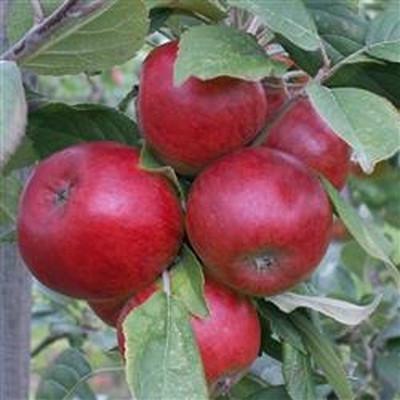Æble Cideræble 'Stoke Red' -salgshøjde: 120-200 cm.