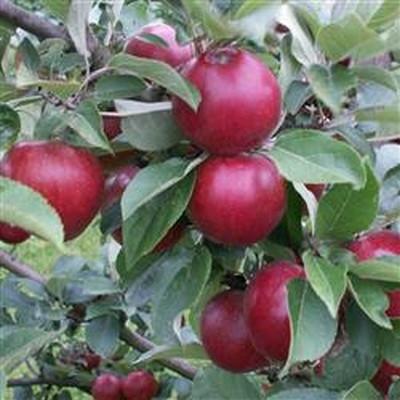Æble Cideræble 'Tremlett's Biter'' -salgshøjde: 120-200 cm.