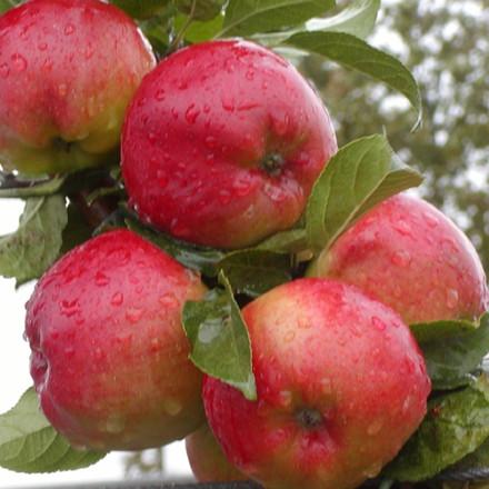 Æble 'Prima' -salgshøjde: 150-200 cm.