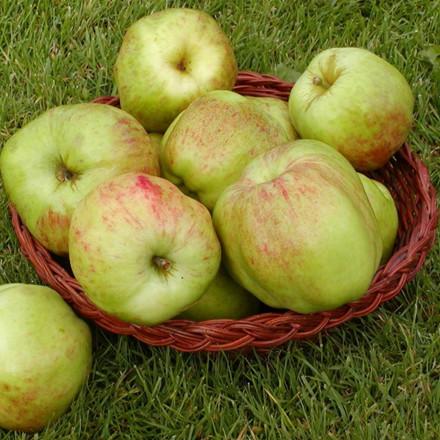 Æble 'Gul Gråsten' (Espalier) -salgshøjde: 150-200 cm.