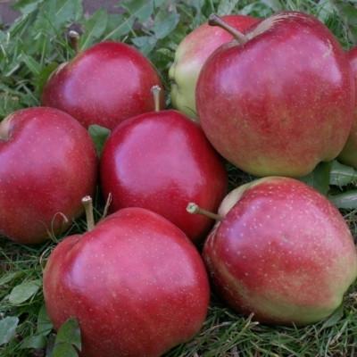 Æble 'Summerred' -salgshøjde: 150-200 cm.