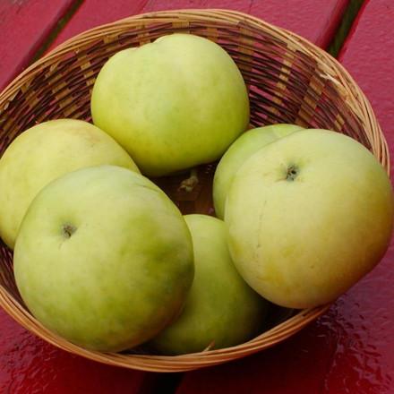Æble 'Transperante Blanche' -salgshøjde: 150-200 cm.