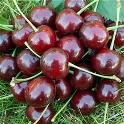 Kirsebær 'Nefris' salgshøjde: 150-200 cm