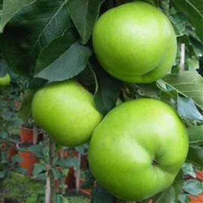 Æble 'Greencats' (Søjleæbletræ) -salgshøjde: 50-100 cm.