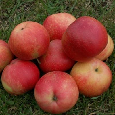Æble 'Discovery' (Espalier) -salgshøjde: 150-200 cm.