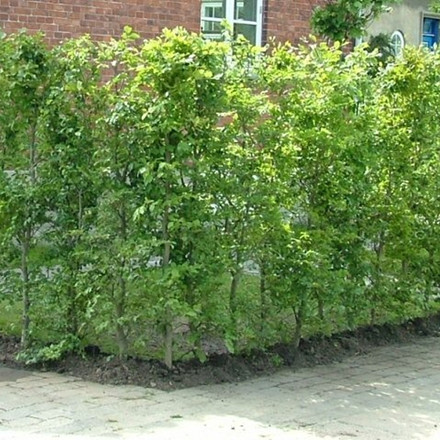 Fagus sylvatica - Færdighæk - højde 220 cm. - Alm. Bøg