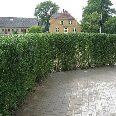 Ligustrum vulgare 'Liga' - Färdighäck - höjd: 170 cm. - Liguster