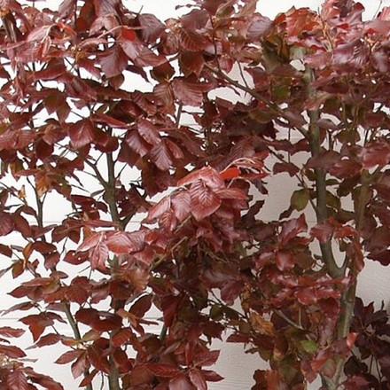 Fagus sylvatica 'Purpurea' - Færdighæk - højde: 180 cm. - Rødbøg