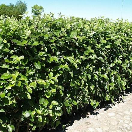Sorbus mougeotii - Færdighæk - højde: 180 cm. - Sølvrøn