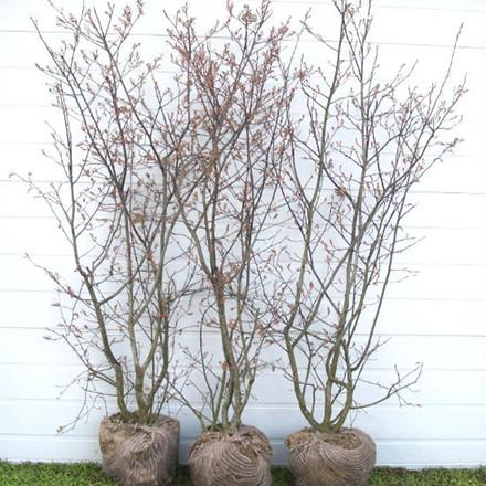 Amelanchier lamarckii (canadensis) - Færdighæk - højde: 150 cm. - Bærmispel