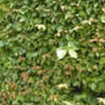 Carpinus betulus - Færdighæk - højde: 180 cm. - Avnbøg