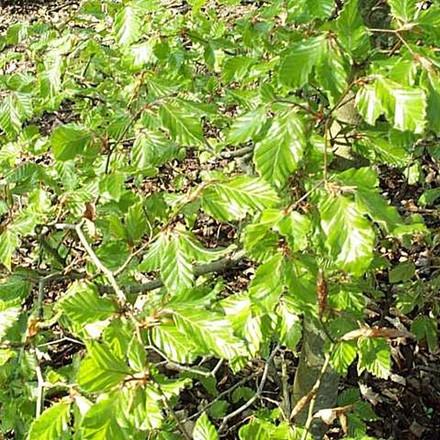 Fagus sylvatica - Færdigpur - højde: 80 cm.