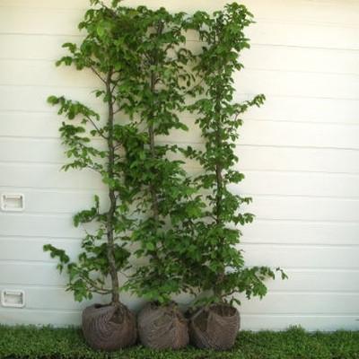 Carpinus betulus - Herkules Hæk - højde 120-130 cm. - Avnbøg