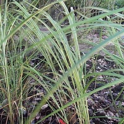 SPARTINA pectinata 'Aureomarginata' (S. michauxiana 'Aur. M.') - Guldlistegræs (MS)