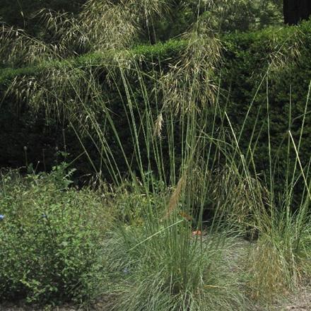 STIPA gigantea (Kæmpefjergræs)