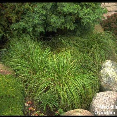 CAREX sylvatica 'The Beatles'  - Skovstar