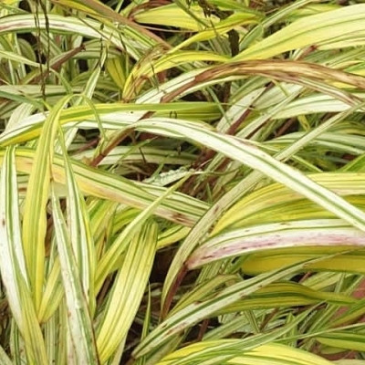 HAKONECHLOA macra 'Aureola' - Japansk Skovgræs (MS)