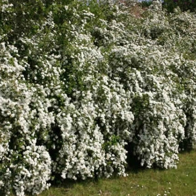 Spiraea vanhouttei (Hækspiræa) Salgsh.: 50-80 cm.  (Barrodet bdt. m/25 stk)