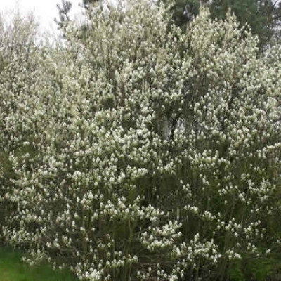 Amelanchier spicata - Salgshøjde: 50-80 cm.  (Barrodet bundt m/25 stk) - Aksbærmispel