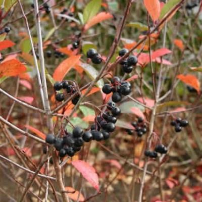 Aronia melanocarpa - Salgshøjde: 20-40 cm.  (Barrodet bundt m/25 stk)- Surbær