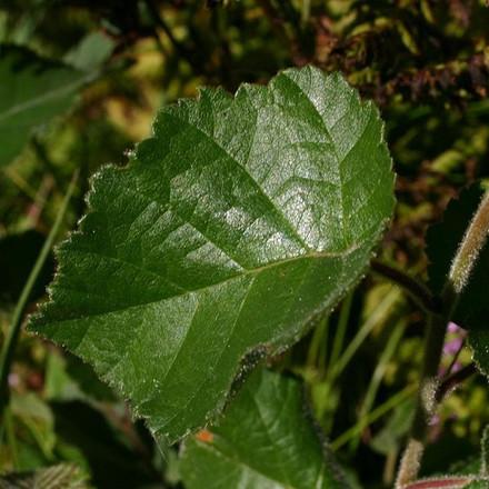 Betula  pubescens - Salgshøjde: 60-100 cm.  (Barrodet bundt m/25 stk) - Dunbirk