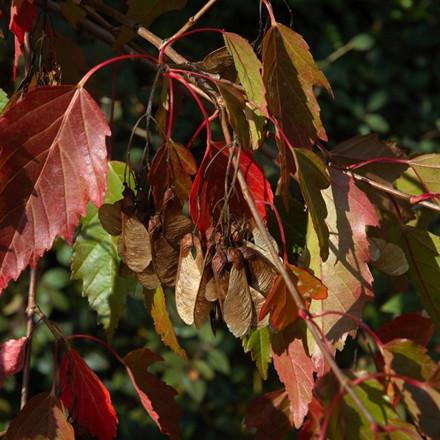 Acer ginnala - Salgshøjde: 50-80 cm.  (Barrodet bundt m/25 stk) - Ildløn