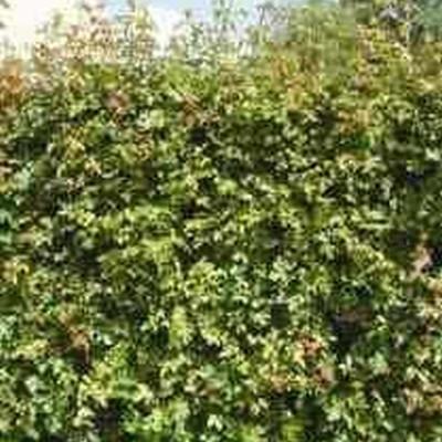 Acer campestre - Försäljningshöjd: 50-80  cm.  (Bunt med 25 st., bara rötter) - Naverlönn