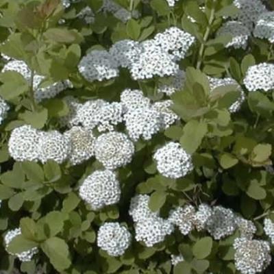 Spiraea betulifolia (Spiræa) Salgsh.: 20-40 cm.  (Barrodet bdt. m/25 stk)