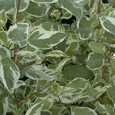 Cornus alba 'Elegantissima' - Salgshøjde: 30-50 cm.  (Barrodet bundt m/25 stk) - Hvid Kornel