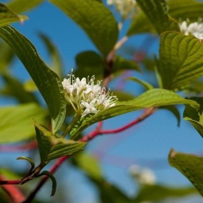 Cornus alba 'Sibirica' - Salgshøjde: 30-50 cm.  (Barrodet bundt m/25 stk) - Hvid Kornel