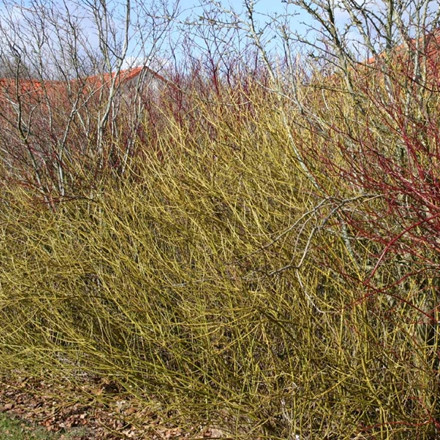 Cornus sericea 'Flaviramea' - Salgshøjde: 30-50 cm.  (Barrodet bundt m/25 stk) - Pilekornel