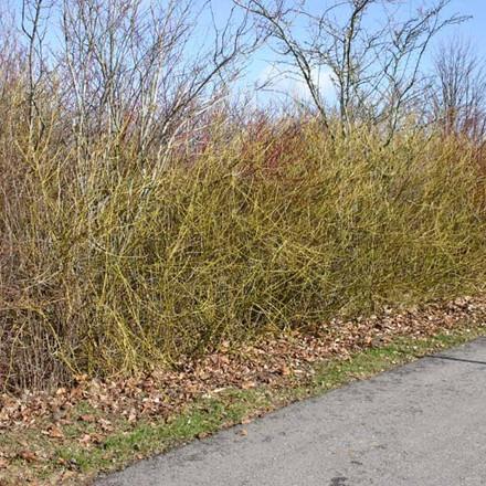 Cornus sericea 'Flaviramea' (Pilekornel) Salgsh.: 30-50 cm.  (Barrodet bdt. m/25 stk)