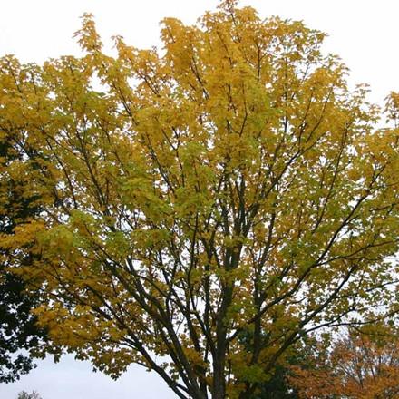 Acer platanoides (Spidsløn) Salgshøjde: 40-60  cm.  (Barrodet bundt m/25 stk)