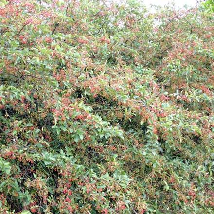 Malus sargentii (Sargentsæble) Salgshøjde: 30-50 cm. (Barrodet bdt m/25 stk)