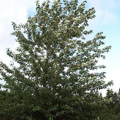 Populus tricocarpha 'OP 42' - Salgshøjde: 60-100 cm. (Barrodet bundt m/25 stk) - Vestamerikansk Balsampoppel