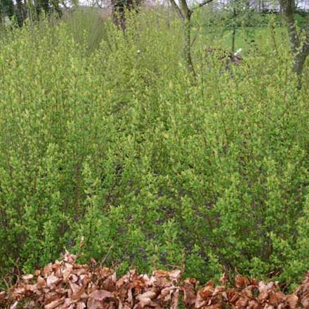 Ribes alpinum 'Hemus' - Salgshøjde: 30-50 cm. (Barrodet bundt m/25 stk) - Fjeldribs