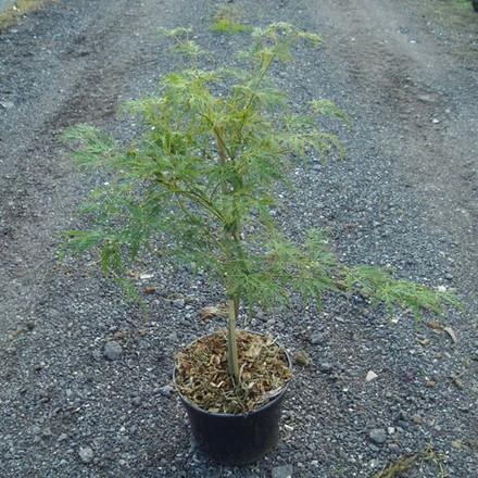 Acer pal. dissectum 'Viridis' - Salgshøjde: 30 - 50 cm. - Japansk Ahorn (NP-JE)