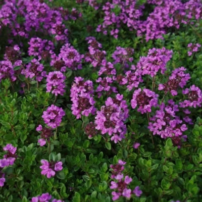 THYMUS citriodorus - Citrontimjan (MS)