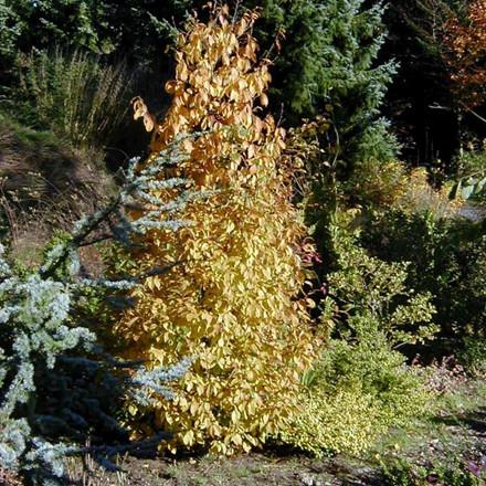 Carpinus betulus 'Frans Fontaine' - Salgshøjde 175-200 cm. - Søjle Avnbøg