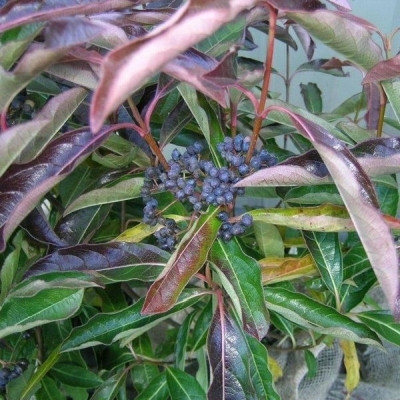 Viburnum nudum 'Splendid Choiz' - Salgshøjde: 30-60 cm. - Kongebusk