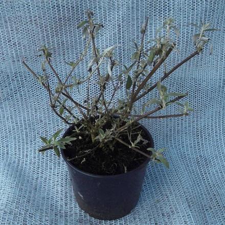 Buddleia davidii 'Black Knight' - Salgshøjde: 35-80 cm. - Sommerfuglebusk